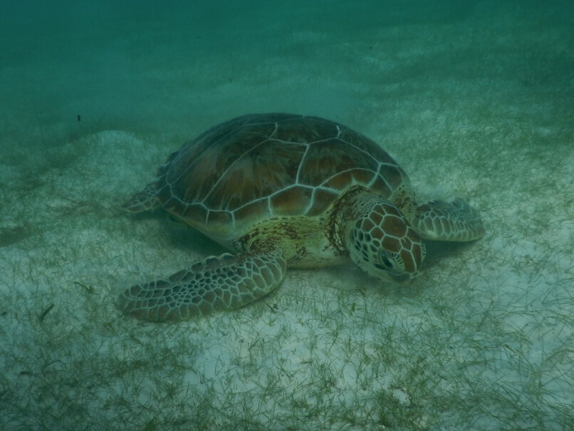 Swimming with turtles at Akumal